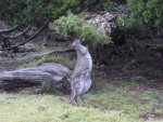 Bennetts Wallaby eating from pencil pine WOJ.jpg