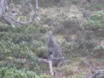 Bennetts Wallaby in the rain.jpg