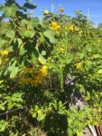 Yellow Flowering Shrub and Pods_1.jpg