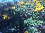 Yellow Flowering Shrub and Pods_2.jpg